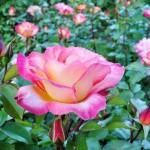 roza81